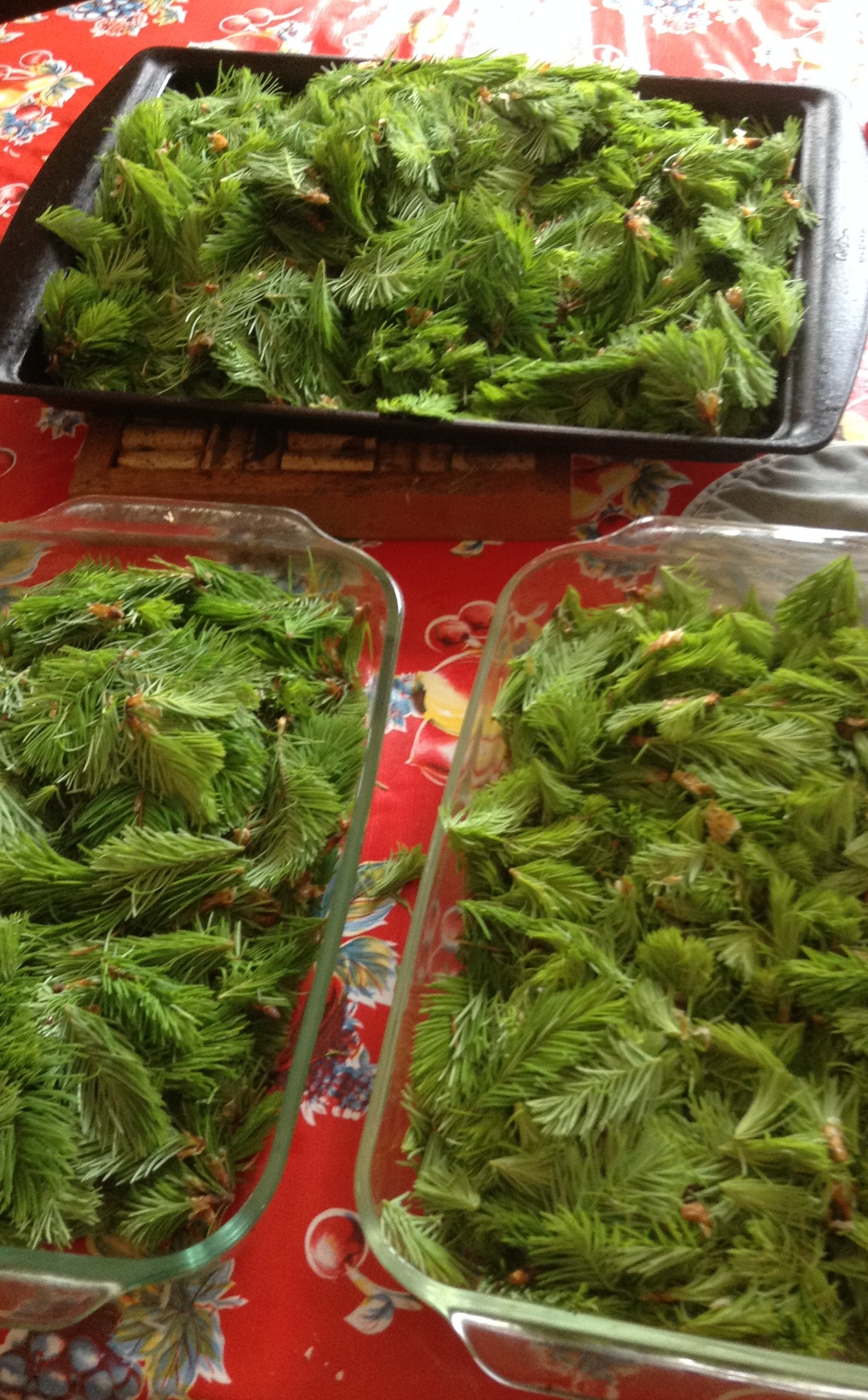 Image of Douglas Fir spring tips prior to oven drying.