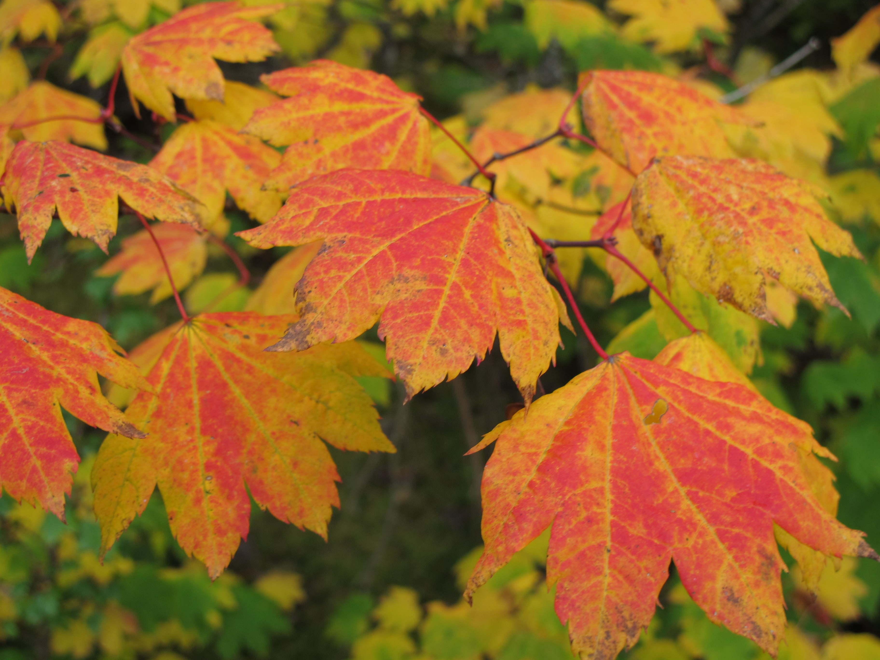 Orange, yellow, and red vine maple leaves