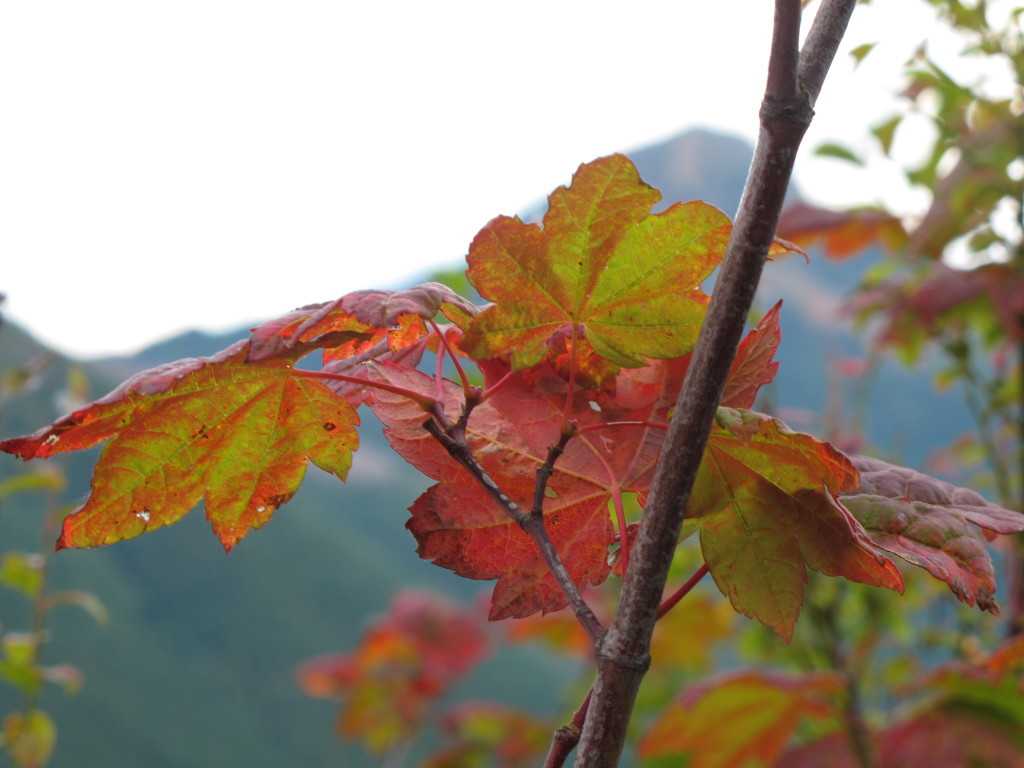 Vine maple leaves with mountain in the distance.