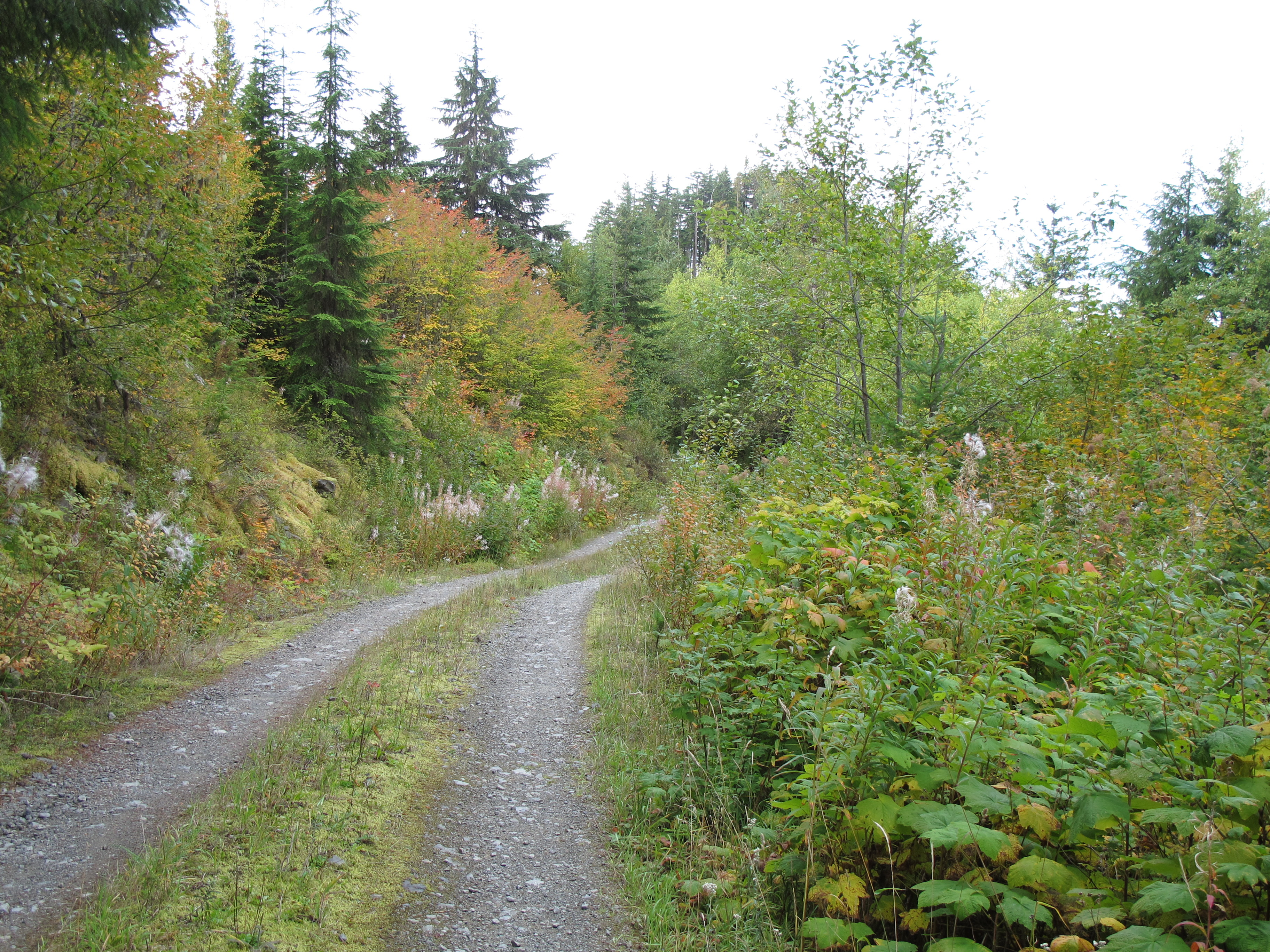 Logging road with diverse growth along the edges.