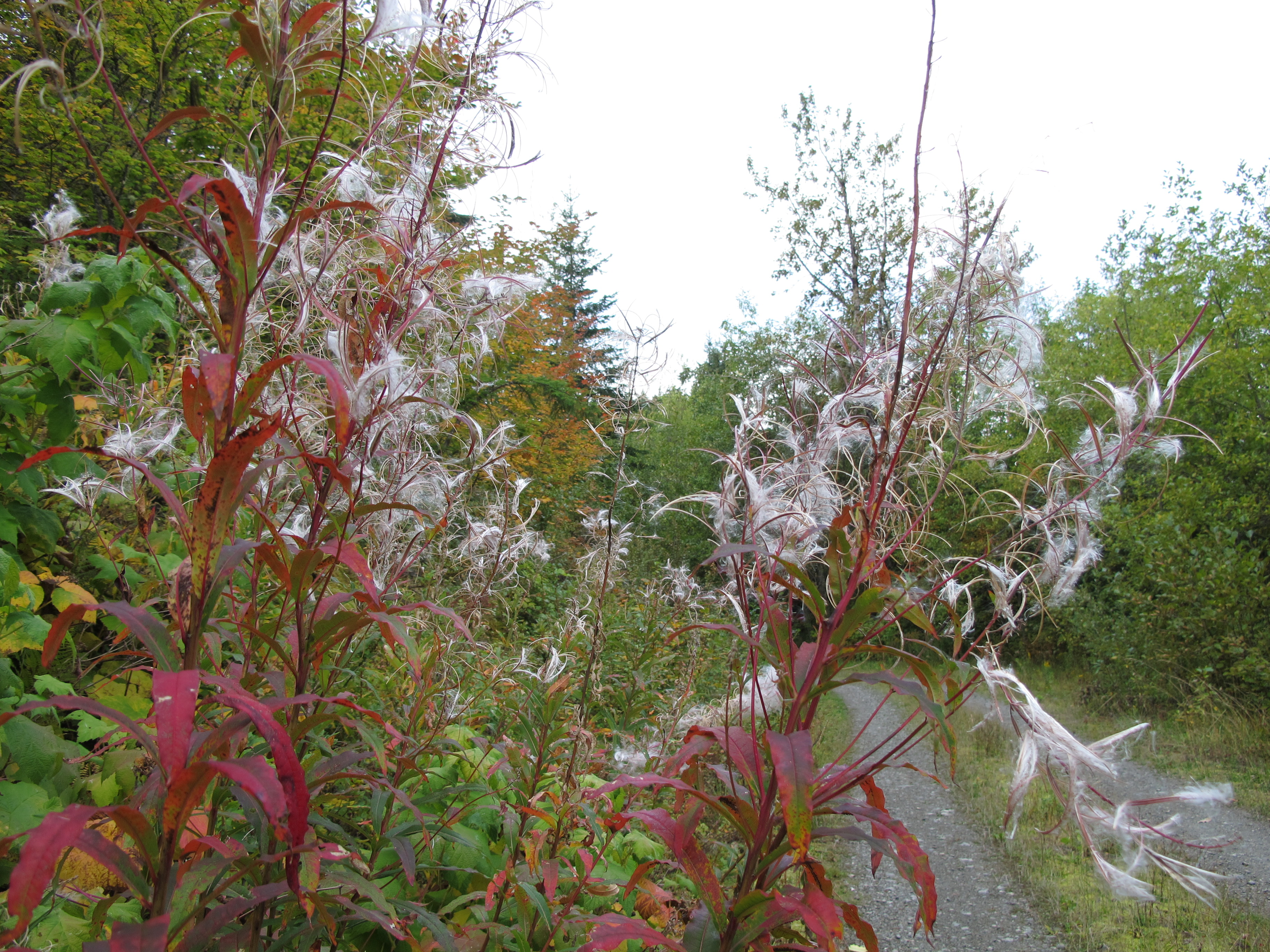 Fireweed, red with fall color and gone to seed