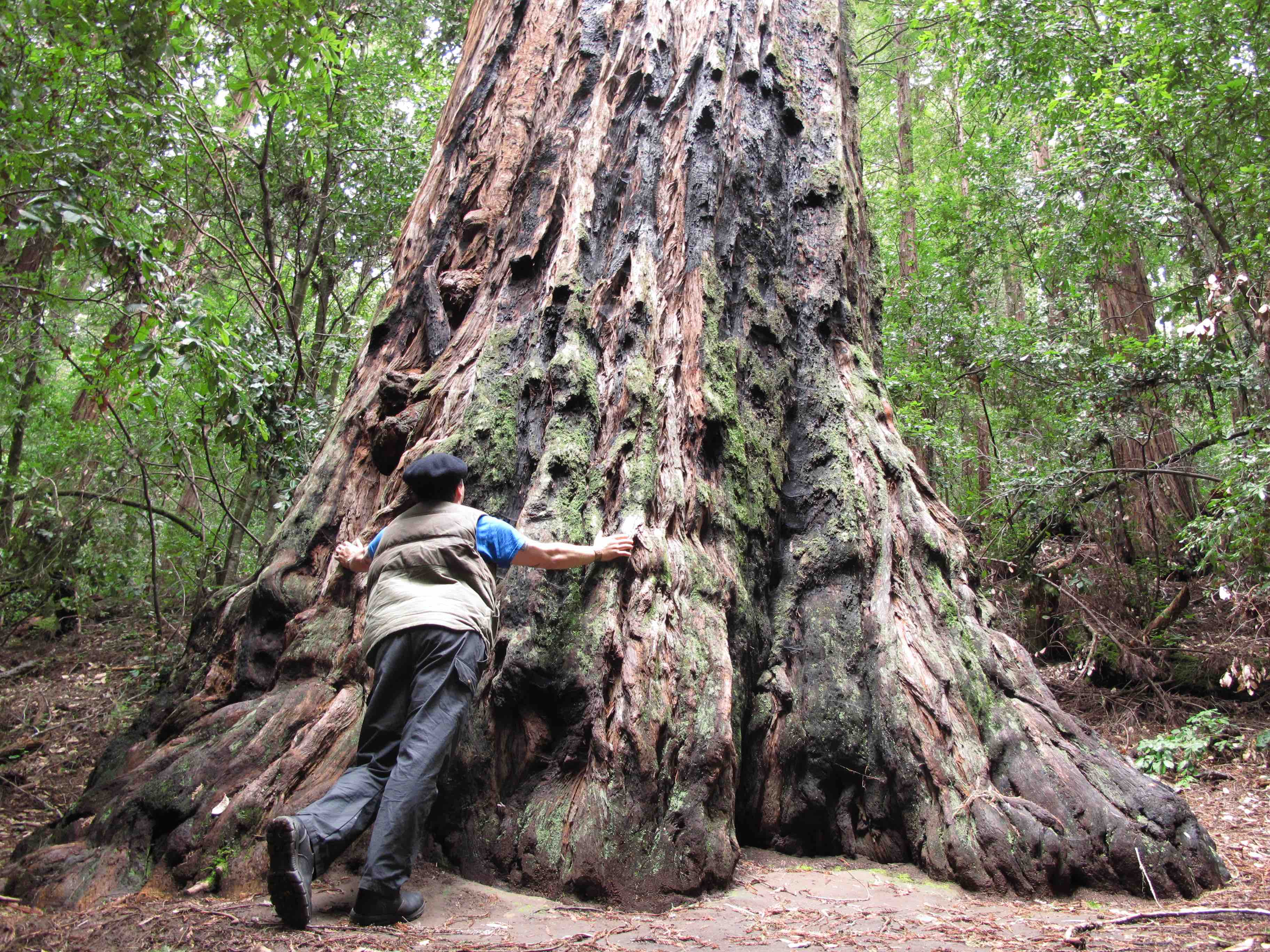 Man hugging redwood.