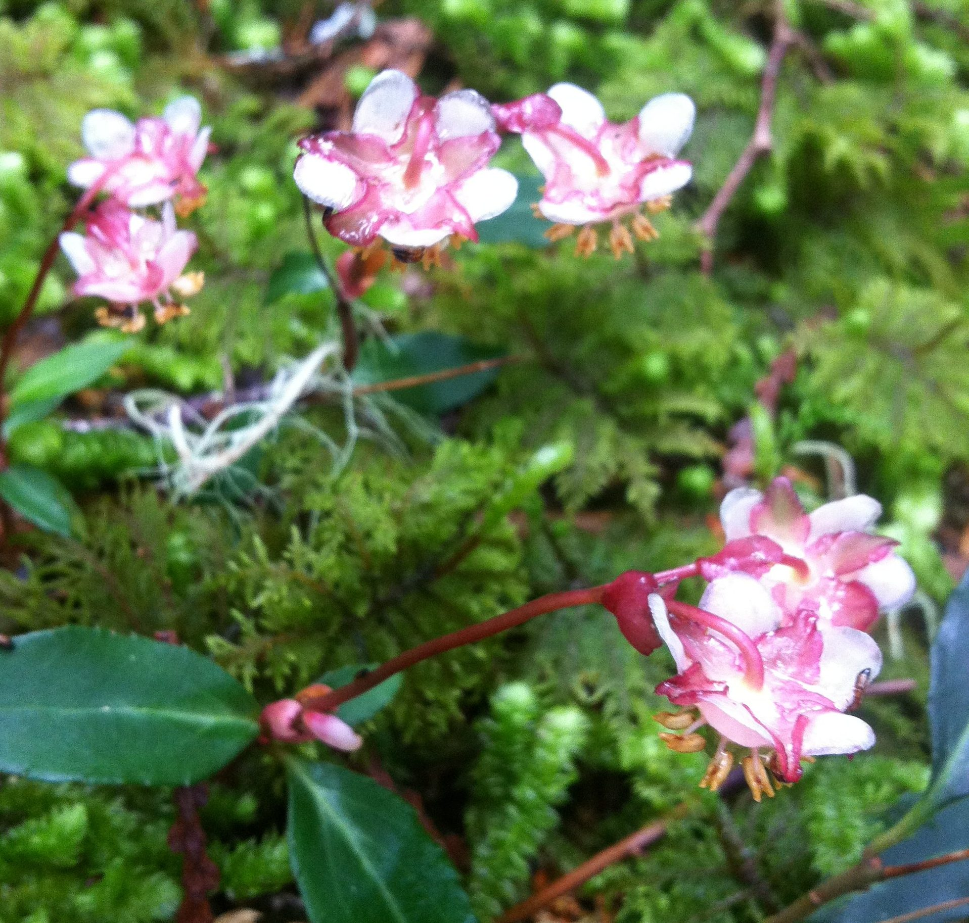 Close-up of Menzies Pipsissewa