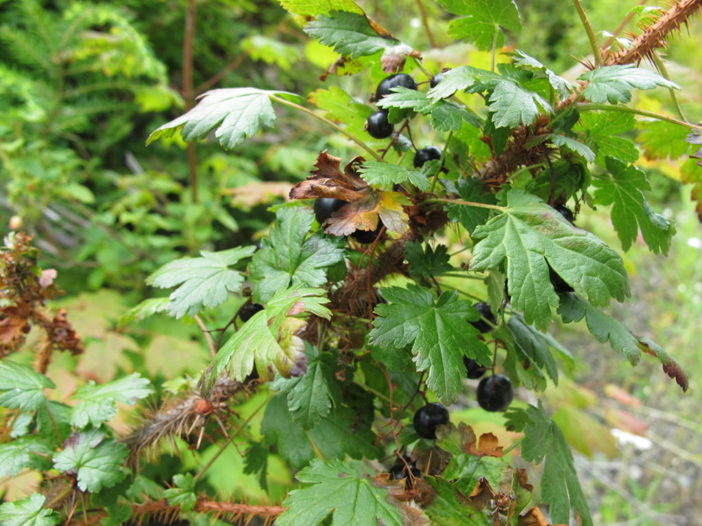 Close-up of black gooseberry, Ribes lacustre.