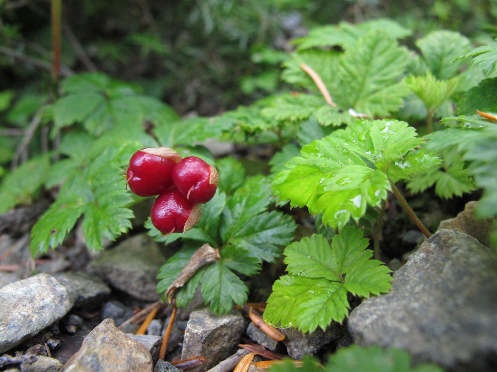 Close-up of five-leaved bramble, Rubus pedatus.