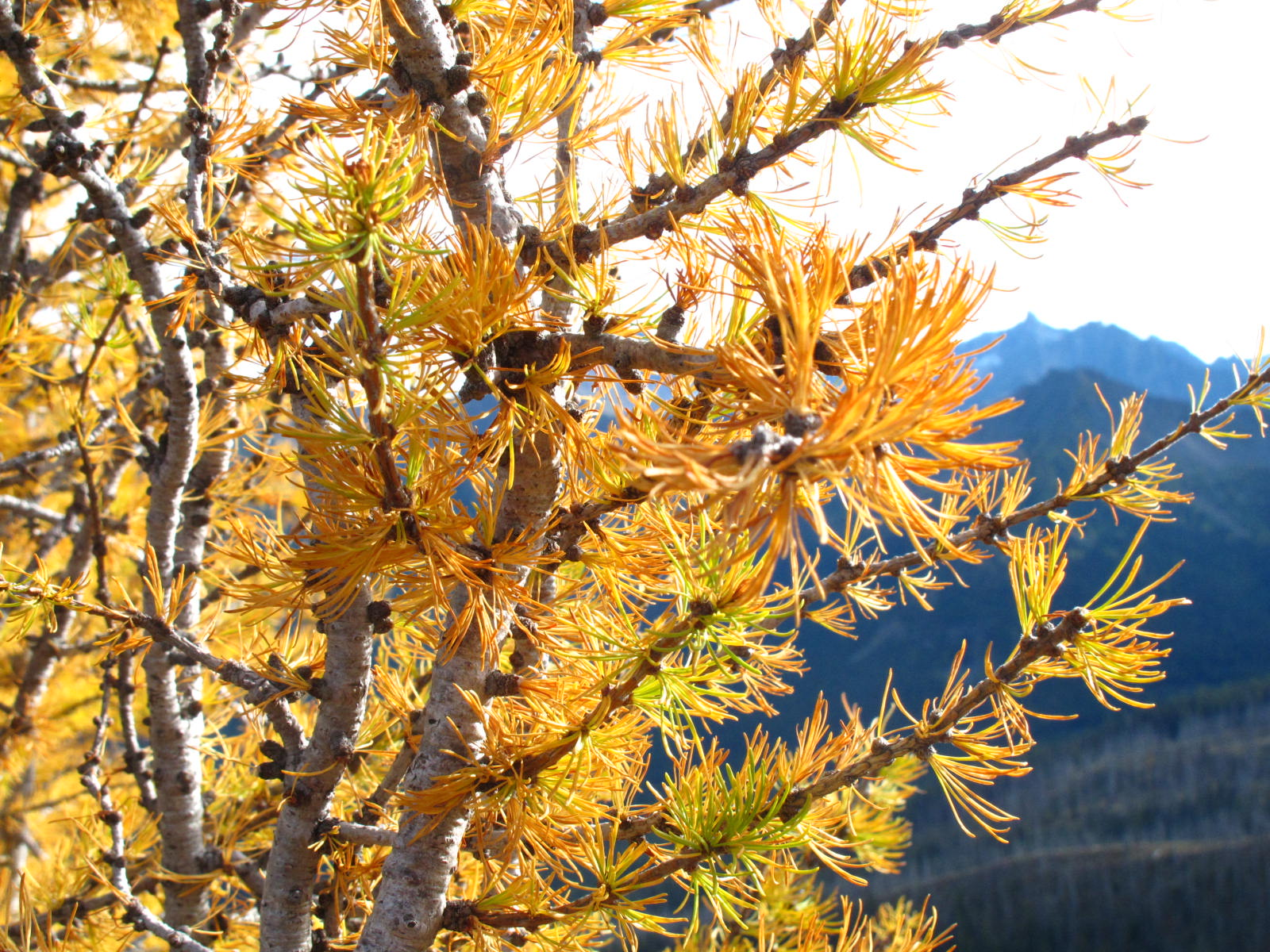 Close-up of larch foliage; on the PCT near Harts Pass.