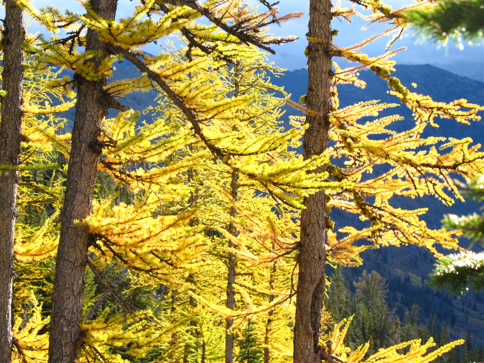 Image of alpine larch with stormy background, Harts Pass, Washington