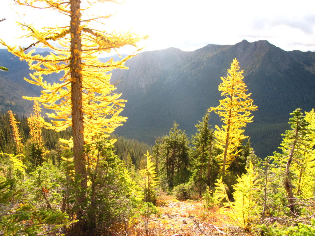 Sunlight on alpine larch, on the PCT near Harts Pass, Washington