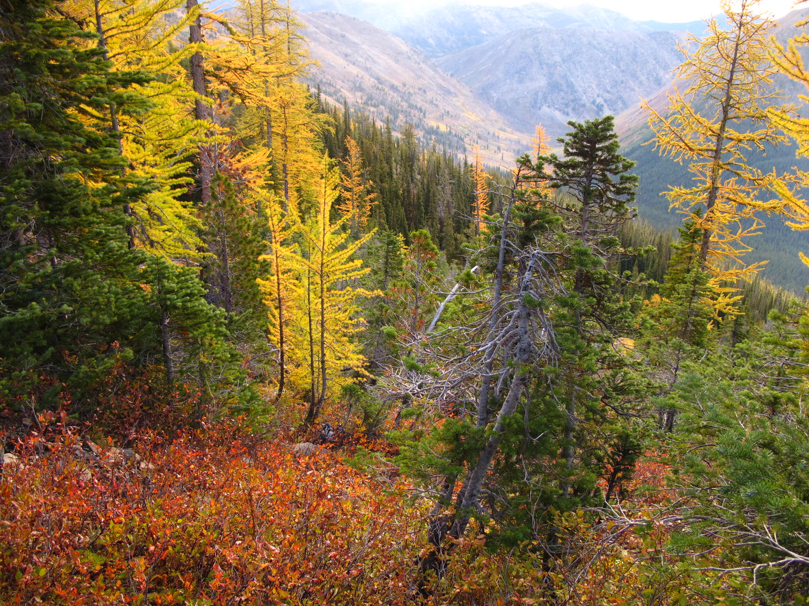 Image of fall colors: alpine larch, blueberry plants, and grasses. Near Grasshopper Pass along the PCT.