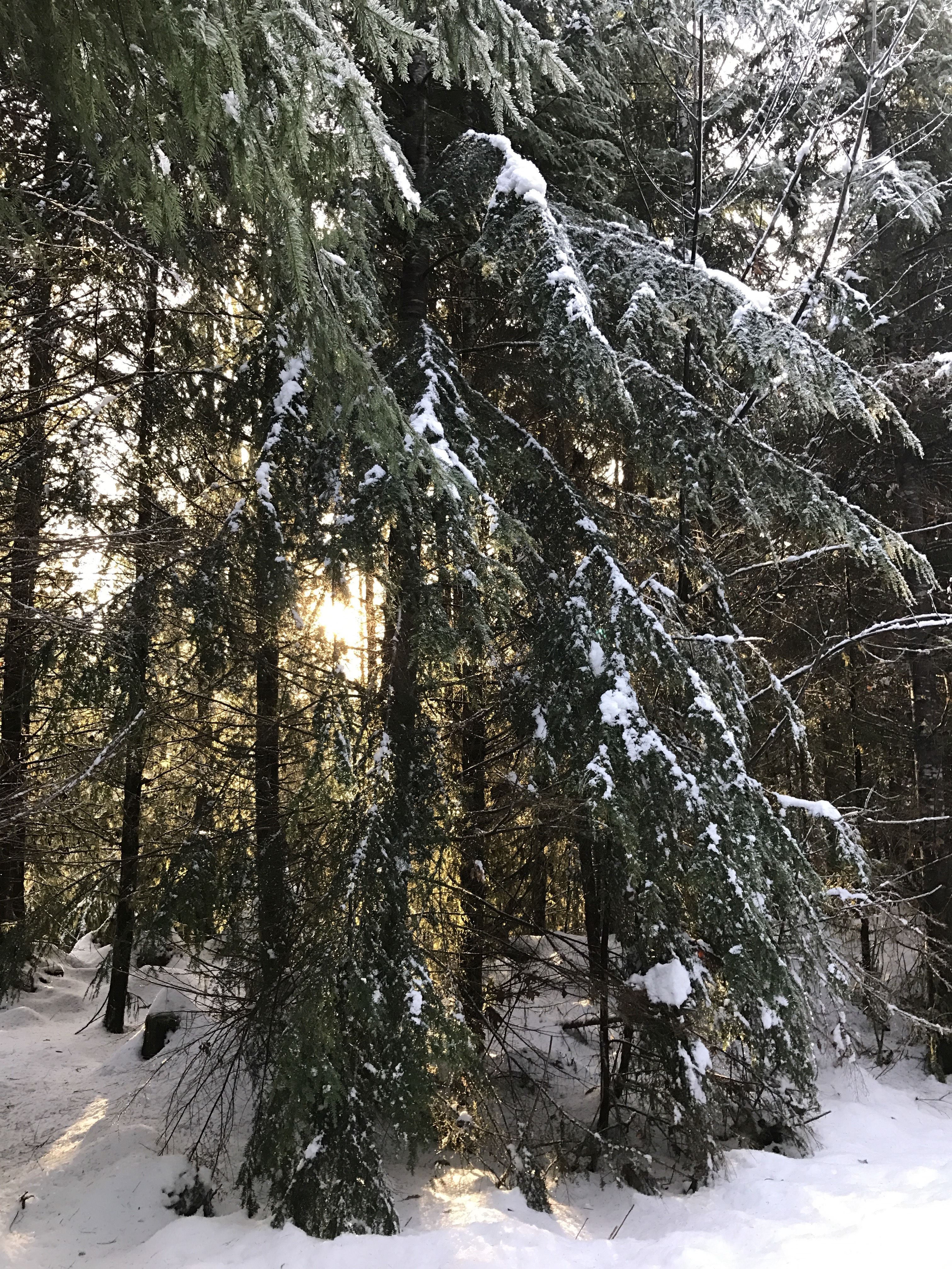 Snowy woods, with sunlight in the background.