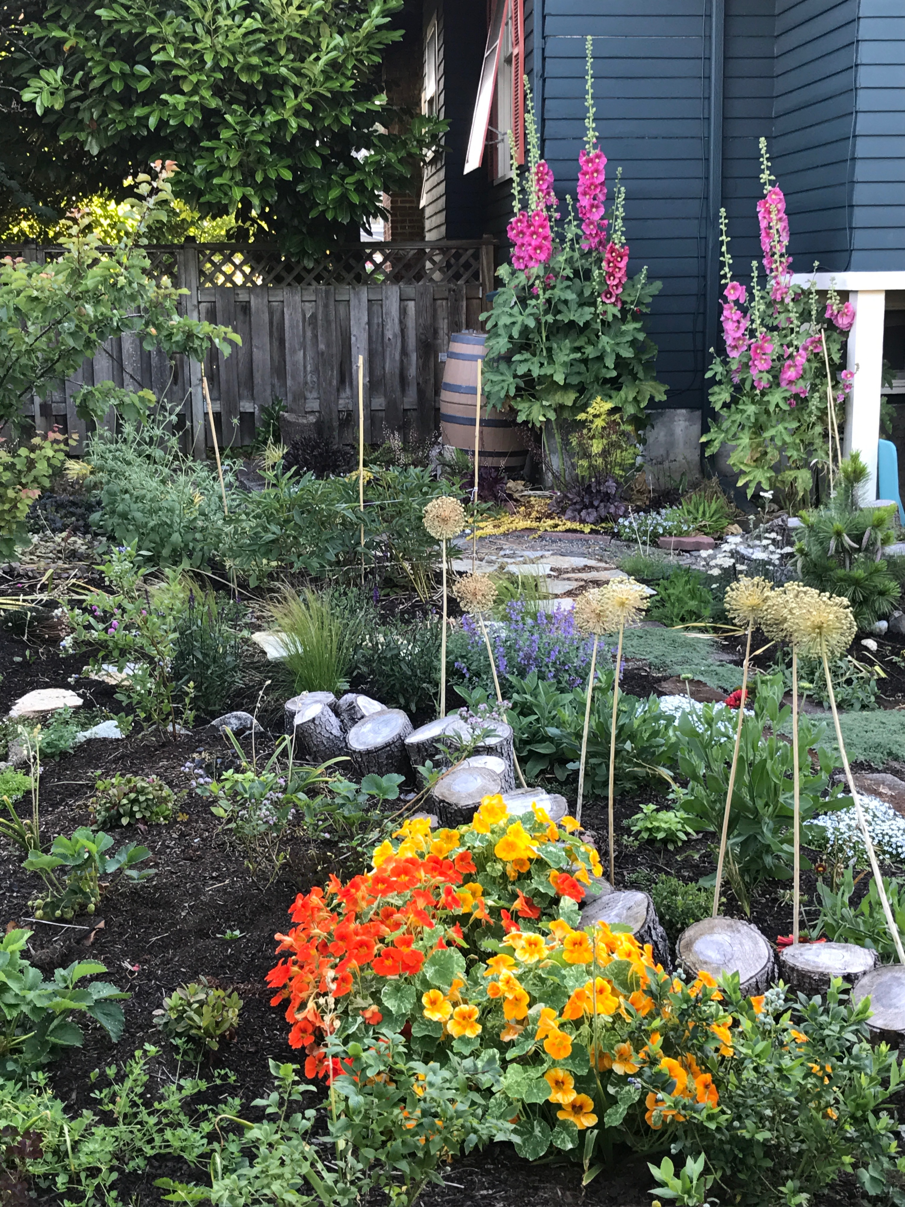 Garden scene: Hollyhocks, nasturtiums, blueberries.