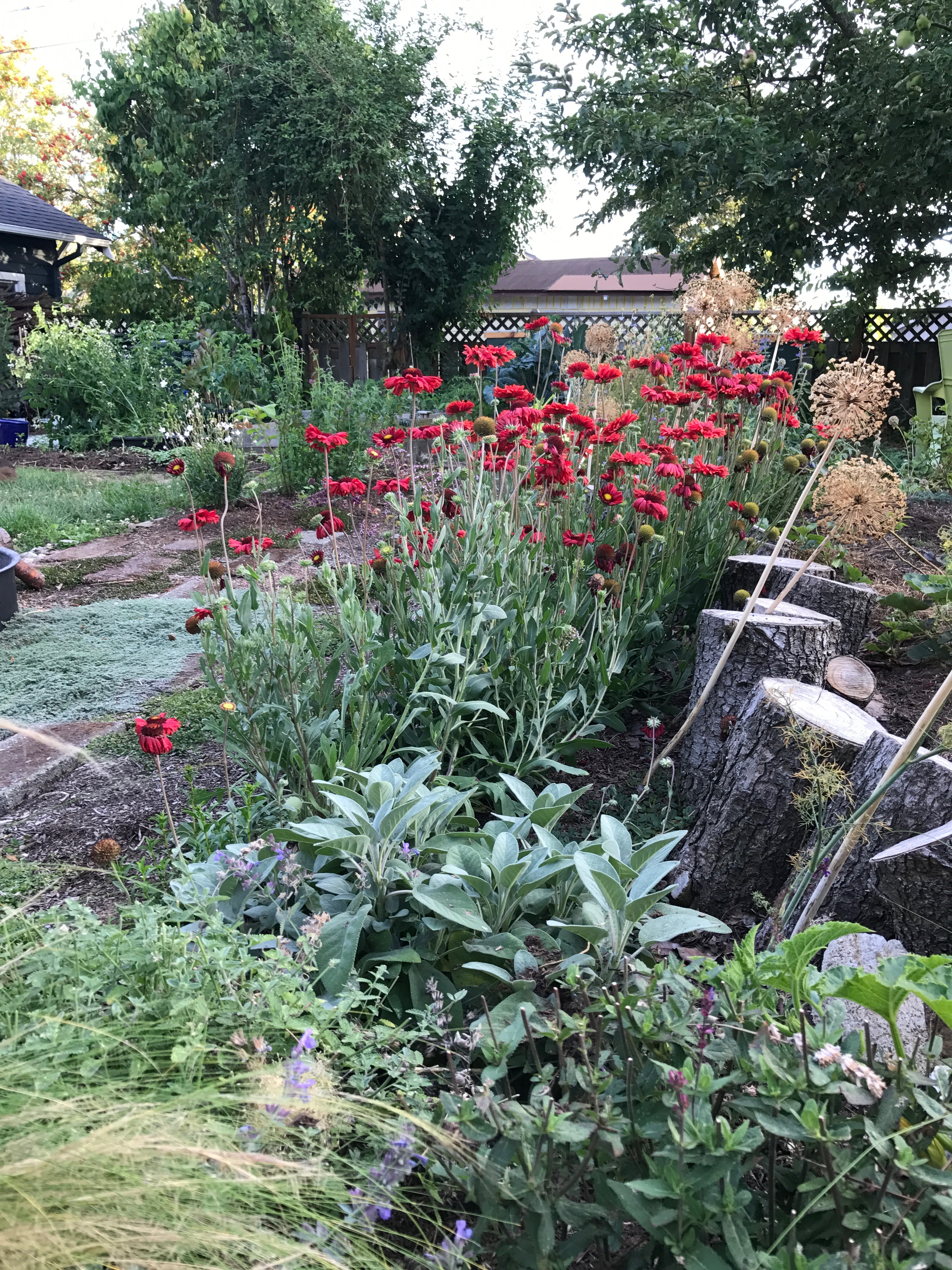 Garden with sage, gaillardia, dried alliums.