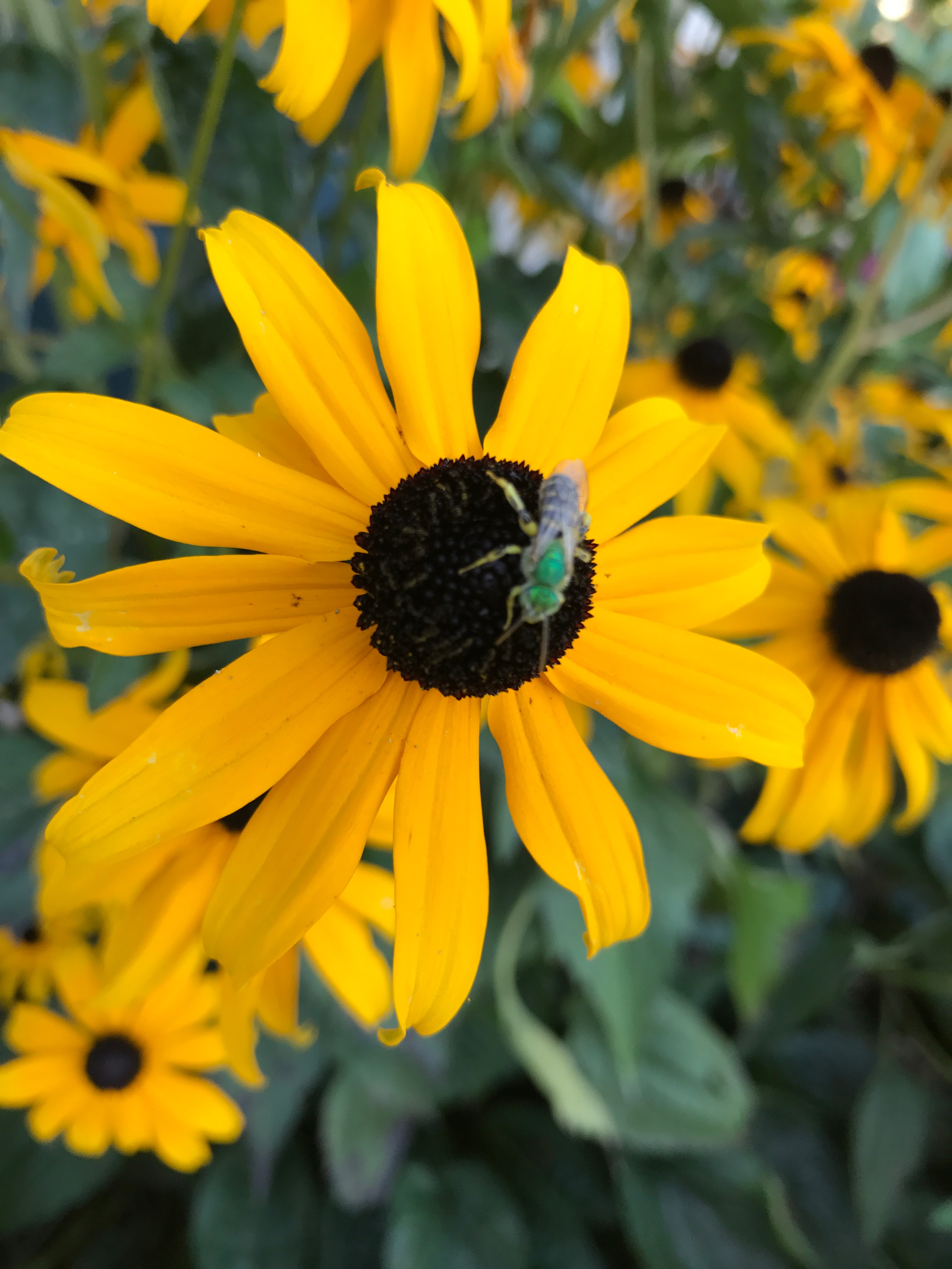 Close-up of an Agapostemon on rudbeckia.