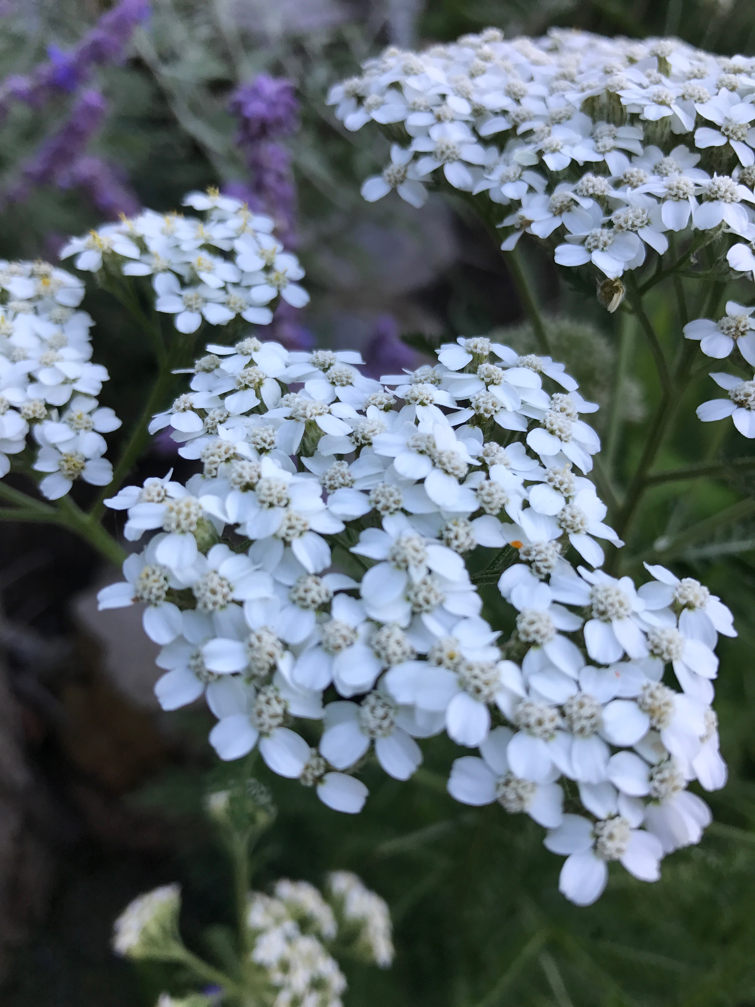 Yarrow, one of the fall-blooming plants helping insects of all kinds get ready for winter