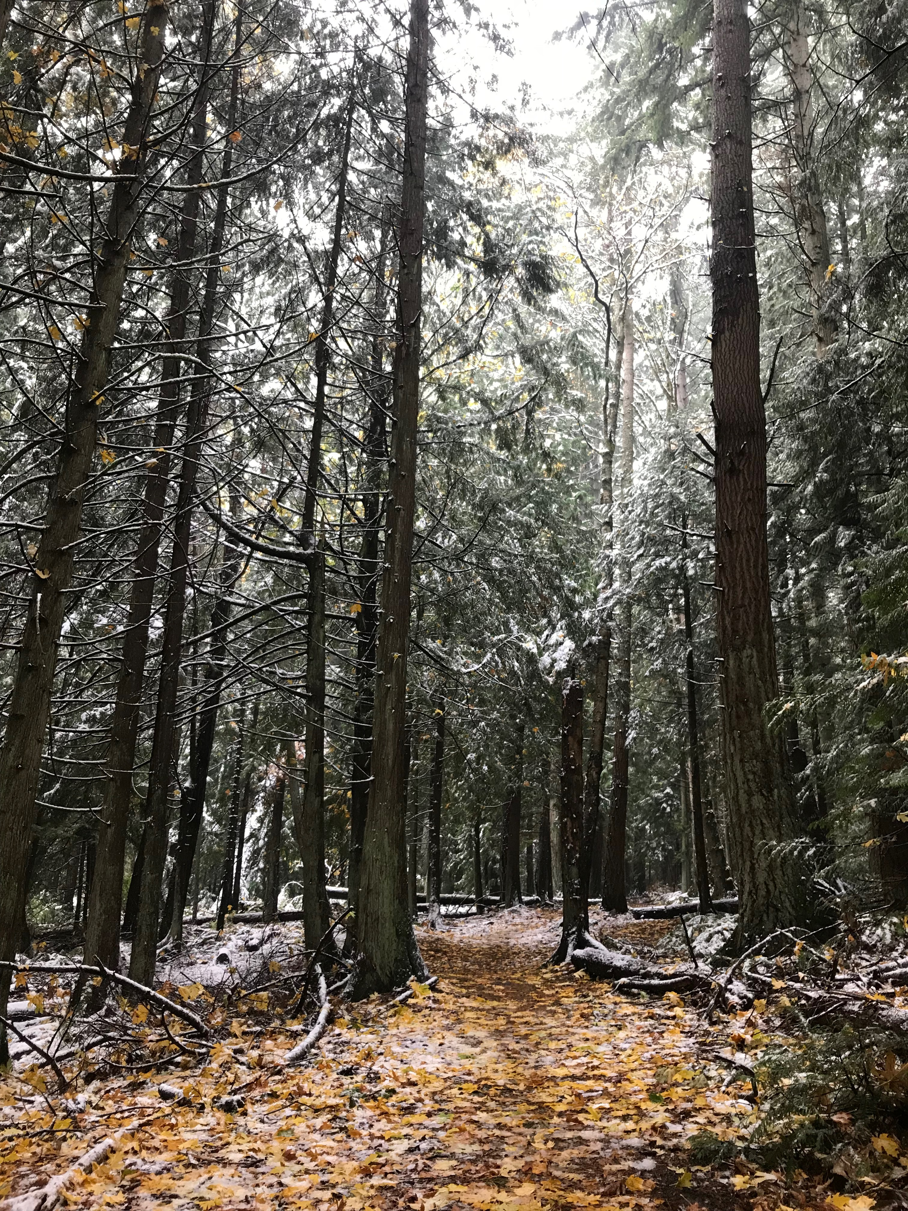 Snowy woods: Chuckanut trail system with snow on the ground, Bellingham, WA
