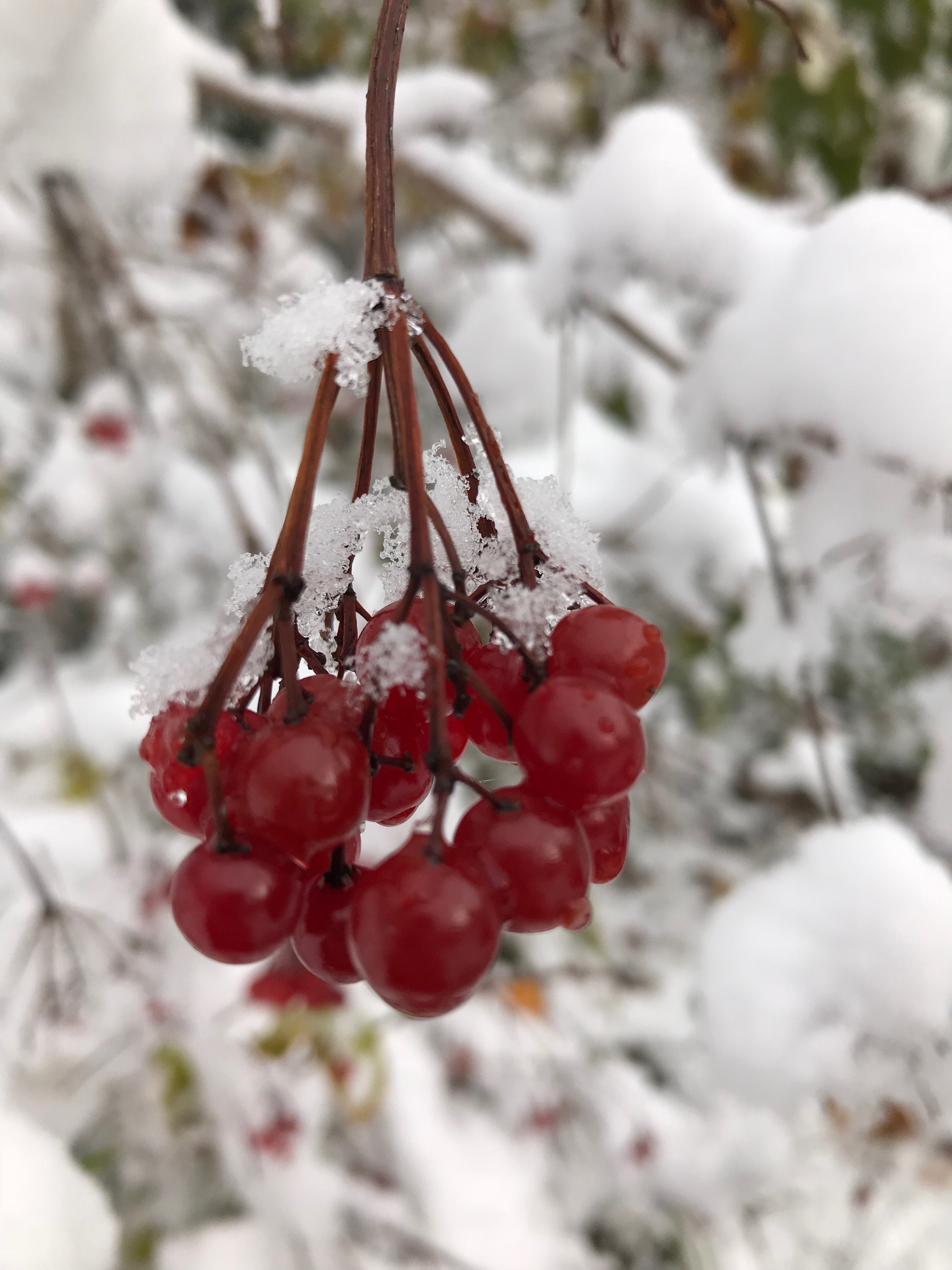 Berries covered in snow and ice