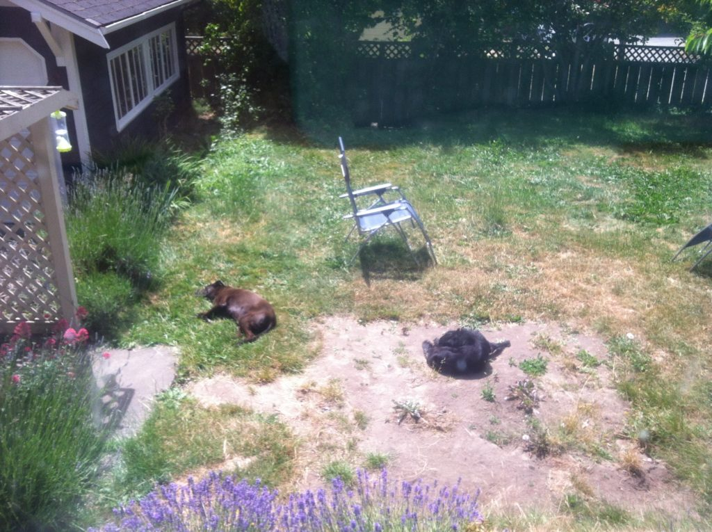 Dogs sleeping in weedy yard with bare soil.