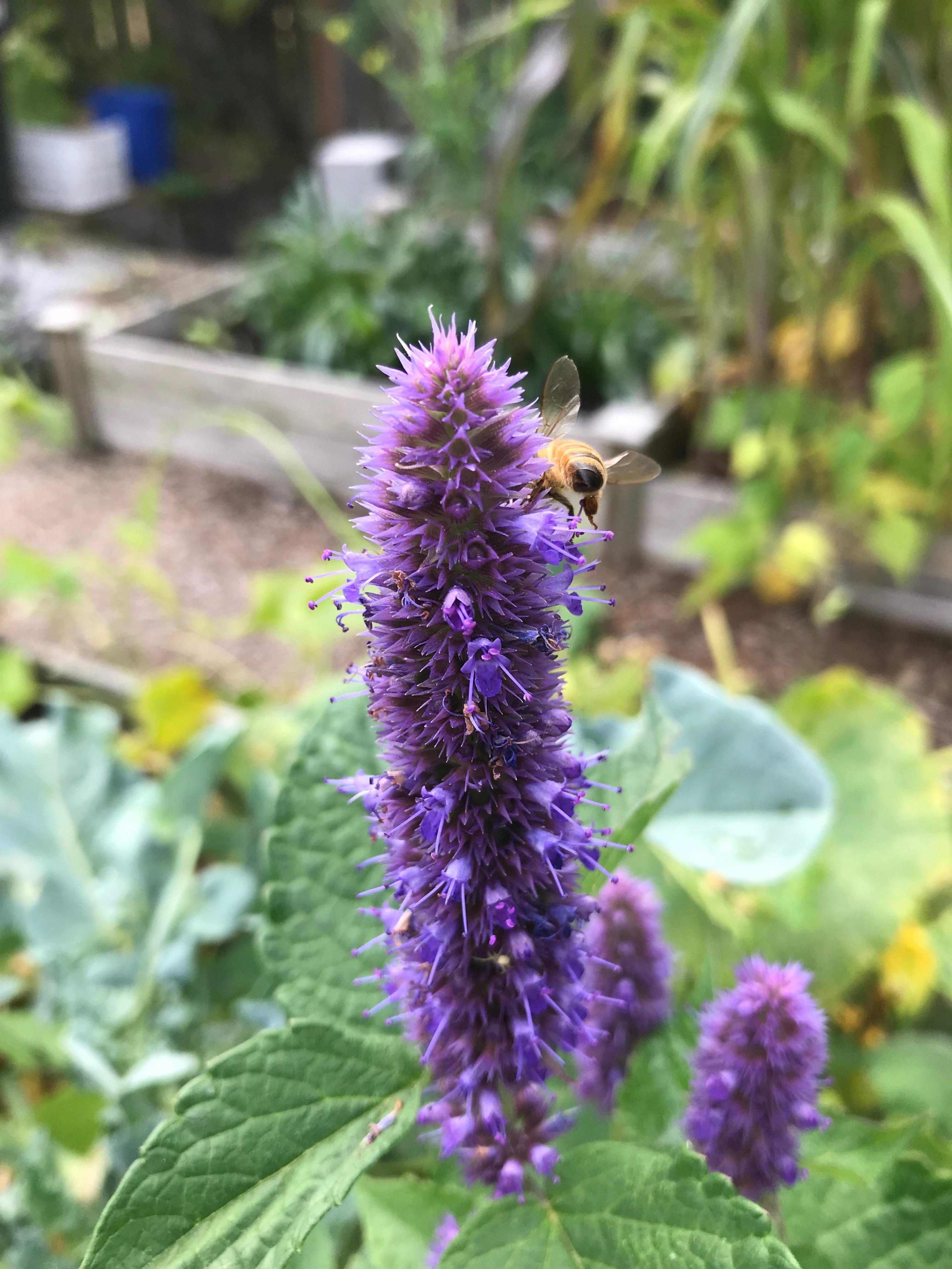 Honeybee on anise hyssop